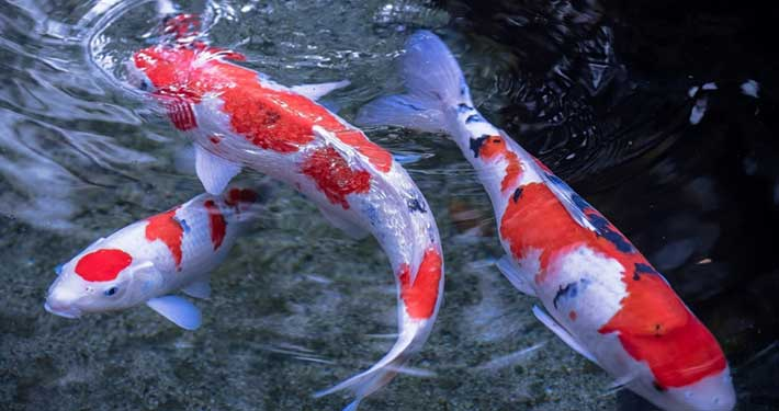 Koi paradise koi carp specialist poole dorset for Mini carpe koi